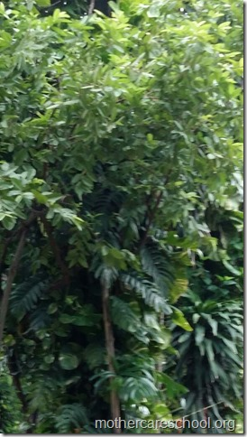 Kadam tree at Mothercare school
