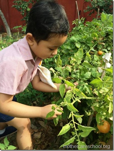 Nursery School kids harvesting organic tomatoes (1)