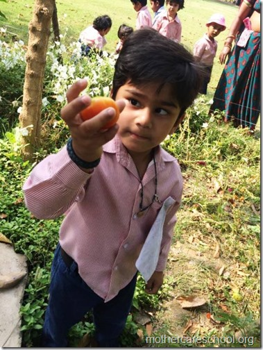Nursery School kids harvesting organic tomatoes (18)