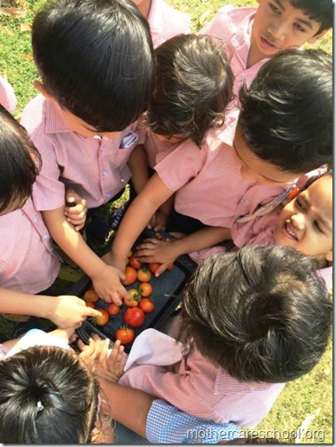 Nursery School kids harvesting organic tomatoes (20)