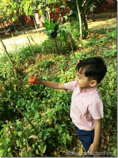 Nursery School kids harvesting organic tomatoes (21)