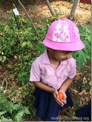 Nursery School kids harvesting organic tomatoes (22)