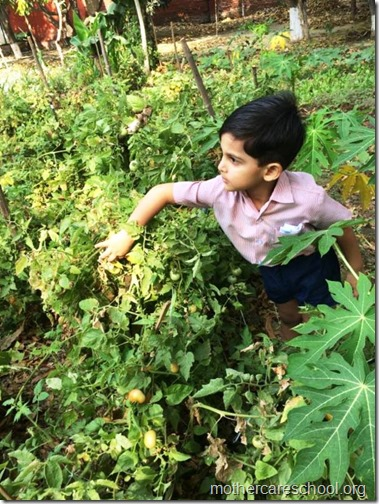 Nursery School kids harvesting organic tomatoes (23)