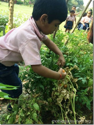 Nursery School kids harvesting organic tomatoes (4)